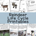 Caribou Animal Facts + Reindeer Life Cycle